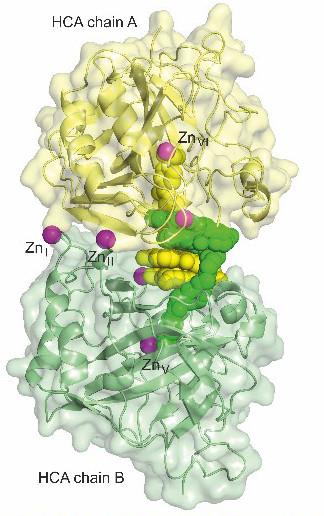 HCAdimer - Foldamers/Biomolecules interactions